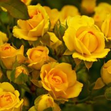 Роза кустовая Мариса