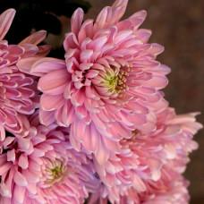 Хризантема светло-розовая