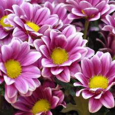 Хризантема фиолетово-белая