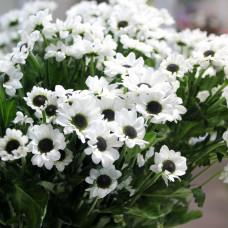 Хризантема белая Сантини