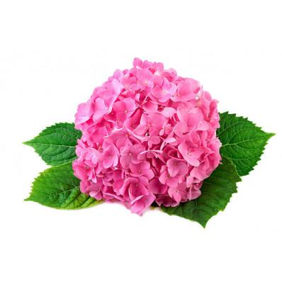 Гортензия Сибилла Классик розовая Фото 1