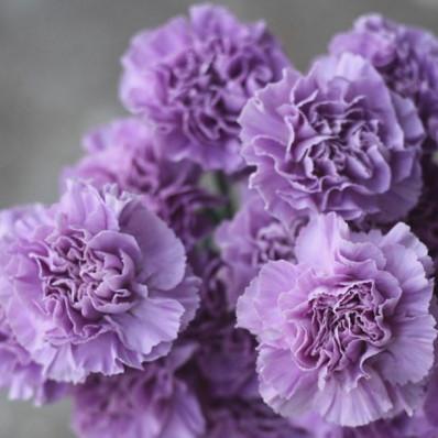 Диантус фиолетовый  Фото 1