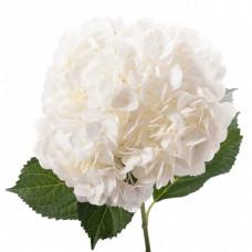Гортензия Сибилла Классик белая Фото 1