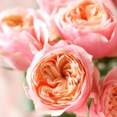 Роза Вувузела Фото 1