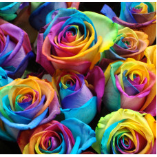Роза радужная