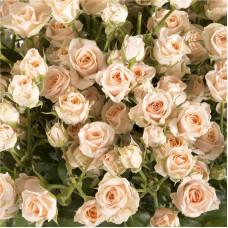 Роза кустовая Хелена