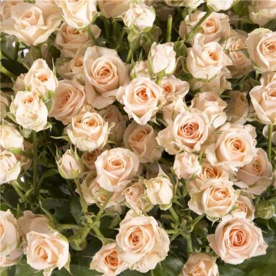 Роза кустовая Хелена Фото 1
