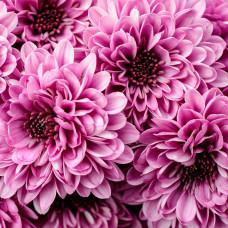 Хризантема розовая Фото 1