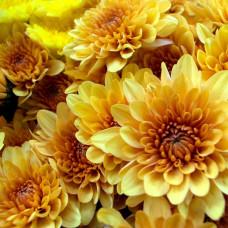 Хризантема кустовая жёлтая Фото 1