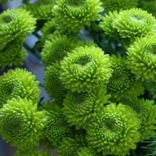 Хризантема кустовая зелёная  Фото 1
