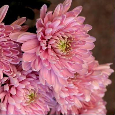 Хризантема кустовая светло-розовая  Фото 1