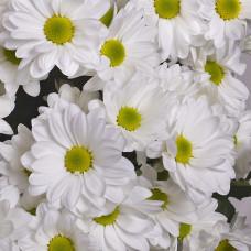 Хризантема кустовая белая Фото 1