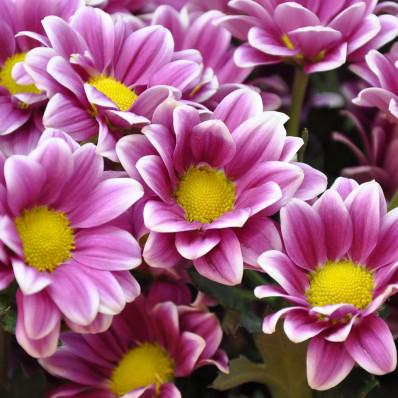 Хризантема кустовая фиолетово-белая  Фото 1