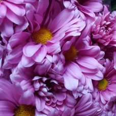 Хризантема сиреневая  Фото 1