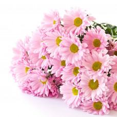 Хризантема кустовая розовая  Фото 1
