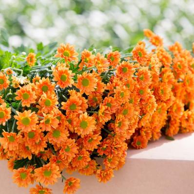 Хризантема сантини оранжевая  Фото 1