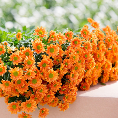 Хризантема оранжевая  Фото 1