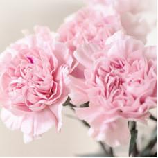 Гвоздика розовая Фото 1