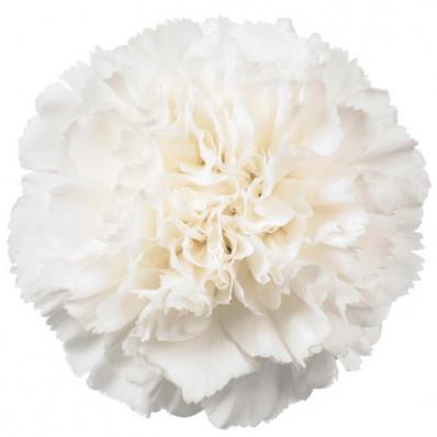 Диантус белый Фото 1
