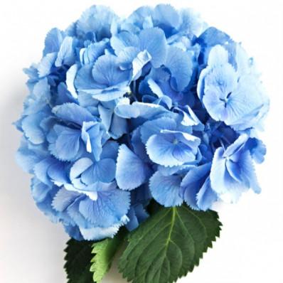 Гортензия Сибилла Классик голубая Фото 1