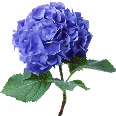 Гортензия Пимпернел синяя Фото 1