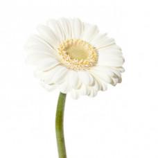 Гермини белая  Фото 1