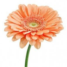 Гермини нежно-оранжевая