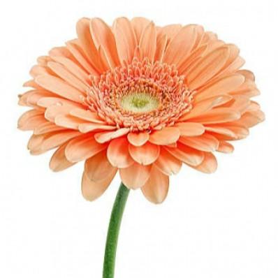 Гермини нежно-оранжевая  Фото 1