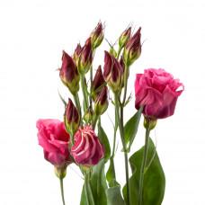 Эустома Розита Ред розово-красная Фото 1