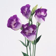 Эустома Арена Блю Пикоти фиолетово-белая Фото 1