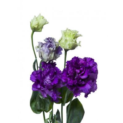 Эустома  Алиса Розита синяя-фиолетовая Фото 1