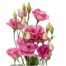 Эустома  Пинк розовая Фото 1