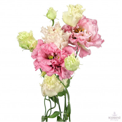 Эустома  Алиса Пинк розовая Фото 1