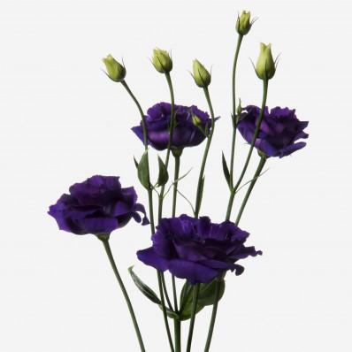 Эустома Алиса Розита темно-фиолетовая Фото 1