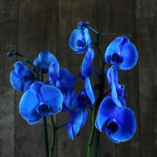 Орхидея синяя Фото 2