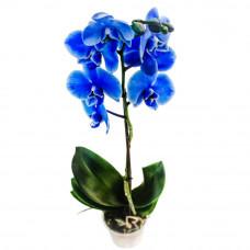 Орхидея синяя Фото 1