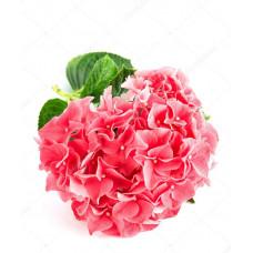 Гортензия Сибилла красная Фото 1
