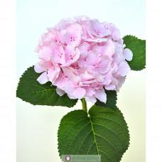 Гортензия Сибилла Классик нежно-розовая Фото 1