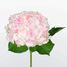 Гортензия Сибилла Классик бело-розовая Фото 1