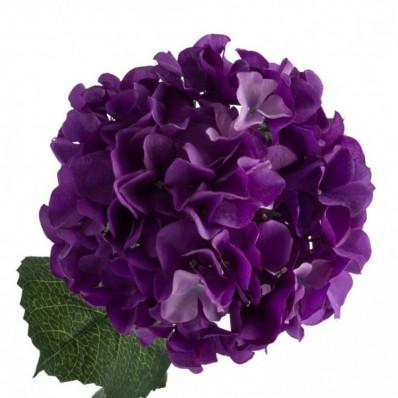 Гортензия Сибилла Классик темно-фиолетовая Фото 1