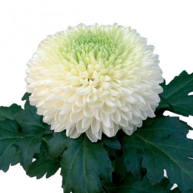 """Хризантема одноголовая """"Пинг-Понг""""  бело-зеленая Фото 1"""